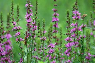 エゾミソハギの花の写真素材 [FYI02978022]