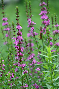 エゾミソハギの花の写真素材 [FYI02978024]