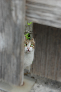 古木の隙間からこちらをじっと見つめる猫の写真素材 [FYI02978034]