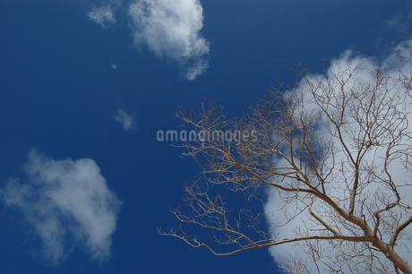 晴天の青空と枯れ木の写真素材 [FYI02978035]