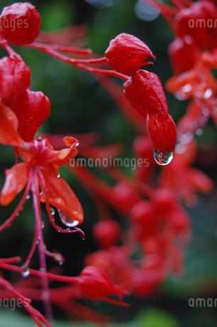 南国沖縄の赤い花に雨粒が残っているの写真素材 [FYI02978044]