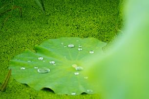 レンコン畑 ハスの葉の写真素材 [FYI02978059]