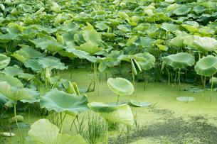 レンコン畑 ハスの葉の写真素材 [FYI02978067]