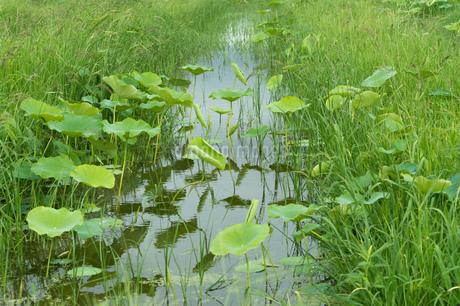 レンコン畑 ハスの葉の写真素材 [FYI02978068]
