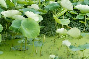 レンコン畑 ハスの葉の写真素材 [FYI02978069]