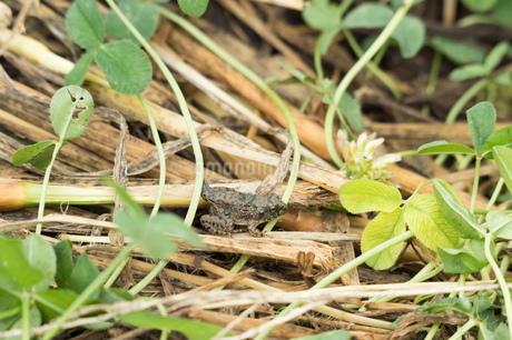 しっぽがある子供のカエルの写真素材 [FYI02978073]