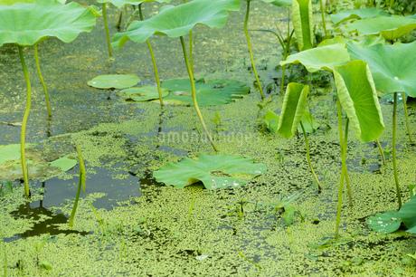 レンコン畑 ハスの葉の写真素材 [FYI02978078]
