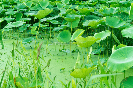 レンコン畑 ハスの葉の写真素材 [FYI02978079]