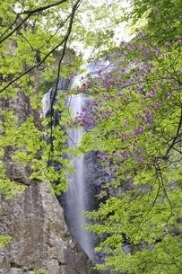 新緑の早戸大滝の写真素材 [FYI02978157]