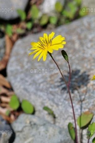 オニタビラコの写真素材 [FYI02978172]