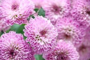菊の写真素材 [FYI02978187]