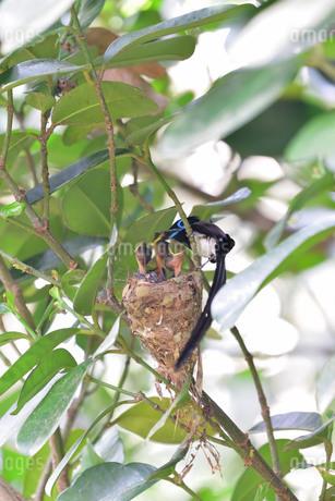 宮古島/繁殖の季節の写真素材 [FYI02978194]