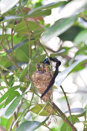 宮古島/繁殖の季節の写真素材 [FYI02978195]