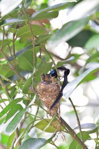 宮古島/繁殖の季節の写真素材 [FYI02978196]