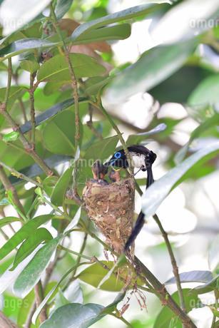 宮古島/繁殖の季節の写真素材 [FYI02978197]