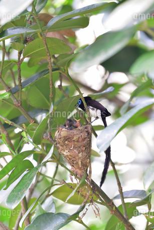 宮古島/繁殖の季節の写真素材 [FYI02978198]