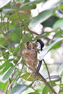 宮古島/繁殖の季節の写真素材 [FYI02978199]