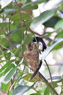 宮古島/繁殖の季節の写真素材 [FYI02978200]
