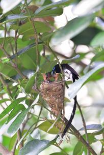 宮古島/繁殖の季節の写真素材 [FYI02978202]