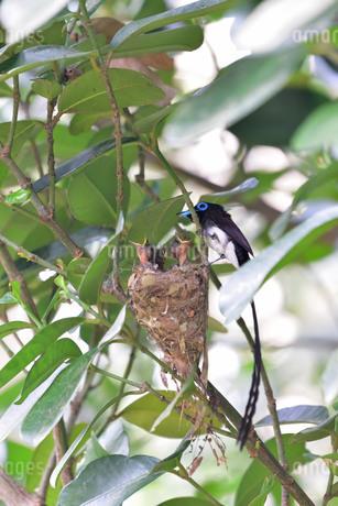 宮古島/繁殖の季節の写真素材 [FYI02978203]