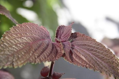 サンパウロで栽培されているシソの写真素材 [FYI02978237]