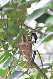 宮古島/繁殖の季節の写真素材 [FYI02978239]