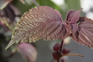 サンパウロで栽培されているシソの写真素材 [FYI02978240]