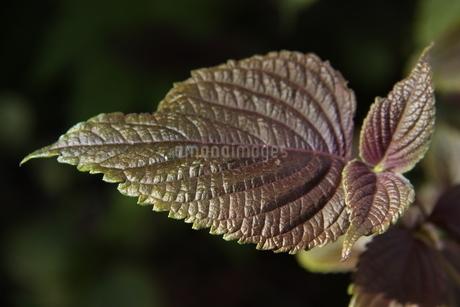 サンパウロで栽培されているシソの写真素材 [FYI02978242]