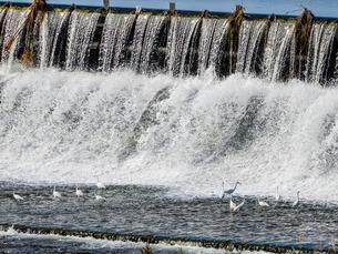 多摩川で白鷺の群れが滝の下でエサの魚採り 二ケ領上河原堰堤の写真素材 [FYI02978243]