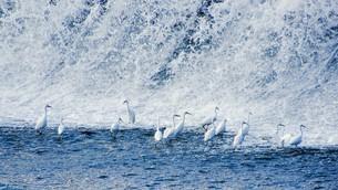 多摩川でシラサギの群れが滝下でエサの魚採り 二ケ領上河原堰堤の写真素材 [FYI02978244]