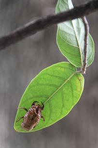 ブラジルのセミの抜け殻の写真素材 [FYI02978247]