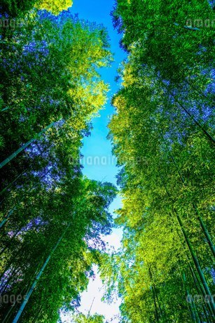 蘆花恒春園/芦花公園の竹林の写真素材 [FYI02978265]