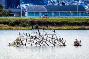多摩川の流木の上に群れる野鳥たちの写真素材 [FYI02978290]