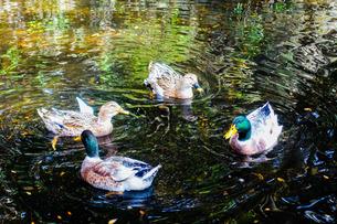 神社の池で泳ぐ鴨の群れの写真素材 [FYI02978332]