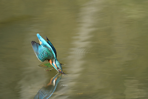 カワセミのダイビングの写真素材 [FYI02978512]