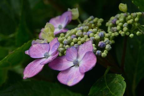 紫陽花の写真素材 [FYI02978720]
