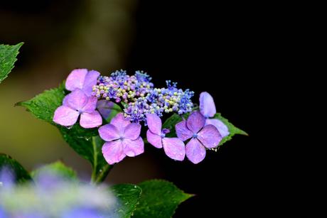 紫陽花の写真素材 [FYI02978724]