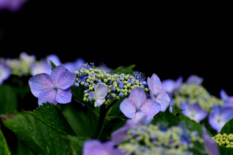 紫陽花の写真素材 [FYI02978725]
