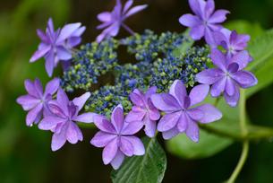 紫陽花の写真素材 [FYI02978726]