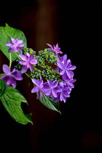 紫陽花の写真素材 [FYI02978727]