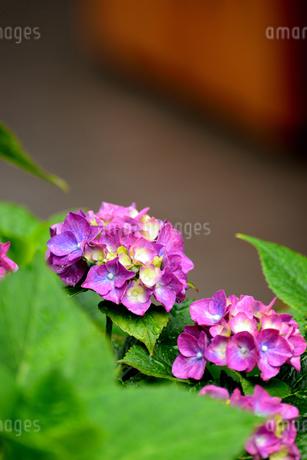 紫陽花の写真素材 [FYI02978732]