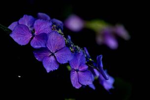紫陽花の写真素材 [FYI02978733]