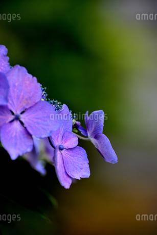 紫陽花の写真素材 [FYI02978735]