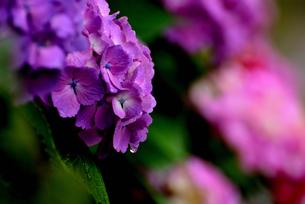 紫陽花の写真素材 [FYI02978736]