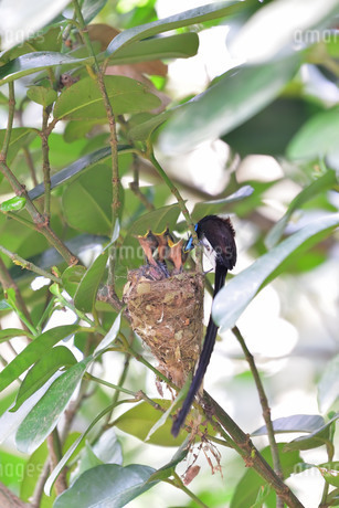 宮古島/繁殖の季節の写真素材 [FYI02978743]
