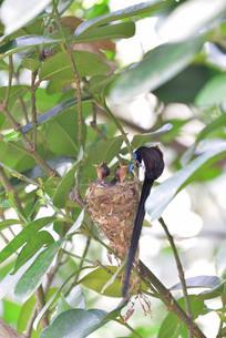 宮古島/繁殖の季節の写真素材 [FYI02978746]
