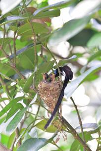 宮古島/繁殖の季節の写真素材 [FYI02978747]