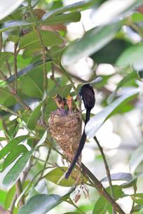 宮古島/繁殖の季節の写真素材 [FYI02978749]