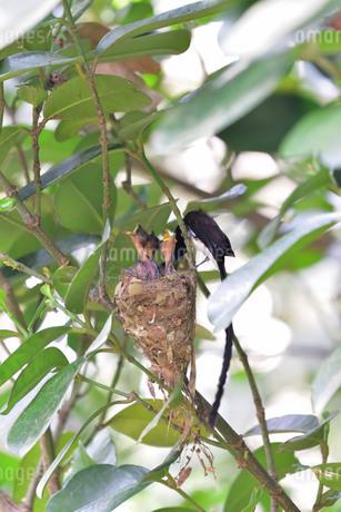 宮古島/繁殖の季節の写真素材 [FYI02978750]