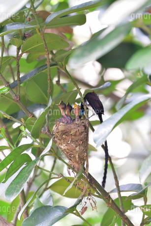 宮古島/繁殖の季節の写真素材 [FYI02978752]